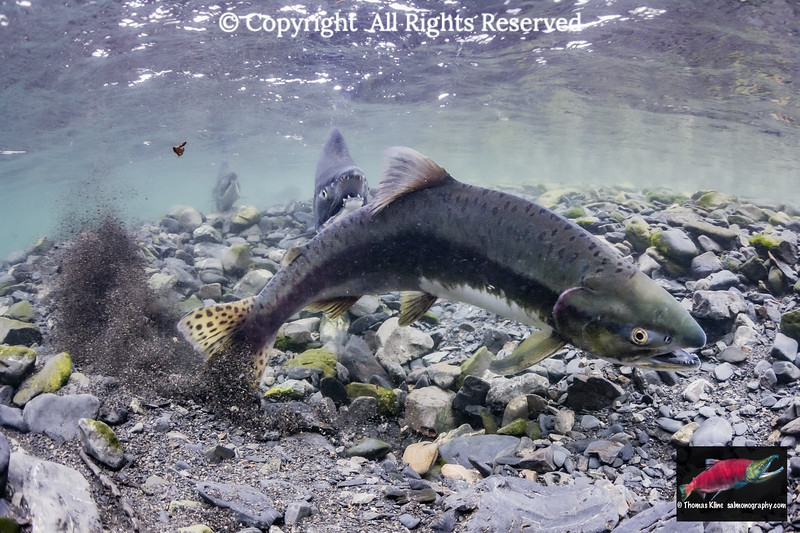 Female Pink Salmon excavating