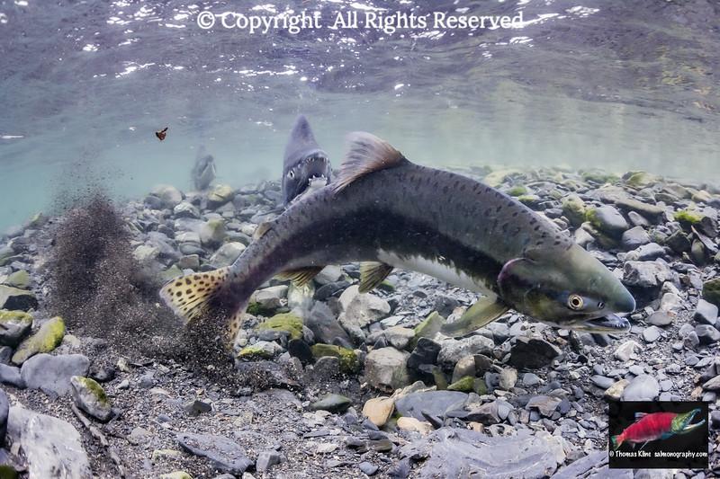 Female Pink Salmon excavating