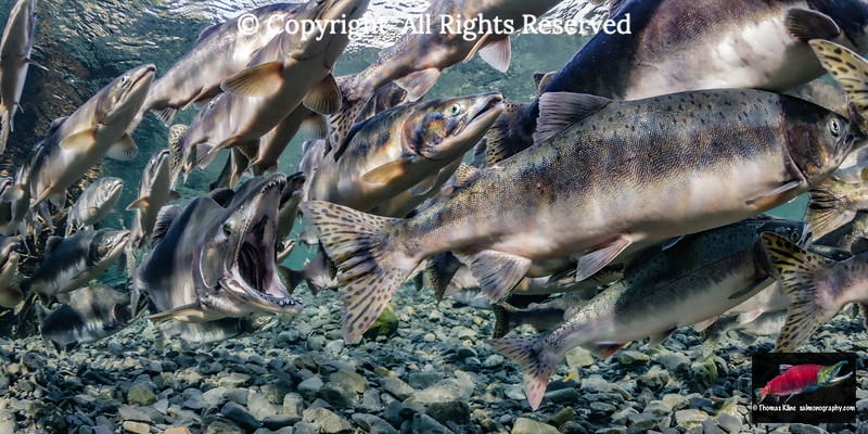 Pink salmon spawning migration