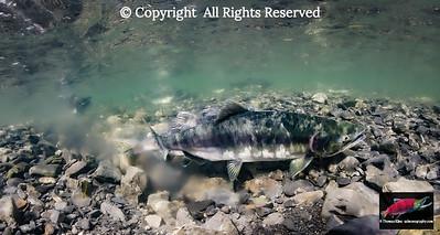 Pink Salmon spawning