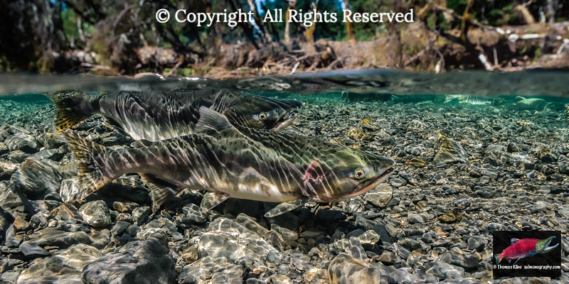 Pink Salmon spawning pair