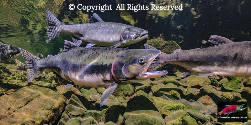 Gaping female Pink Salmon