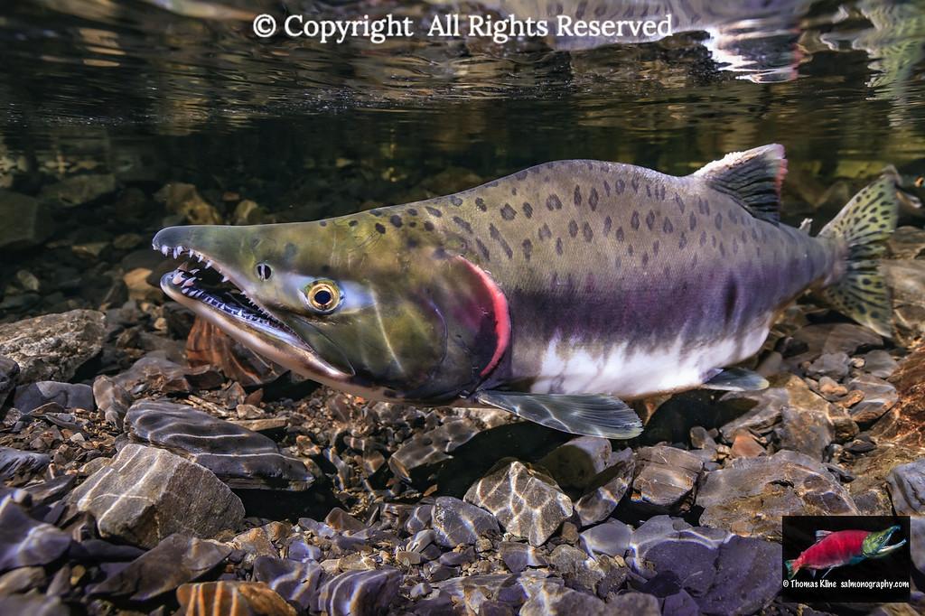 Pink Salmon male