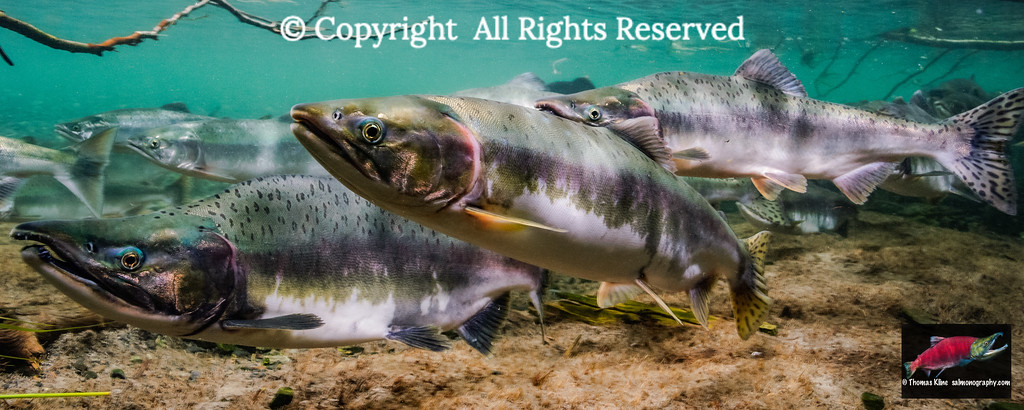 Pink salmon  spawning migration