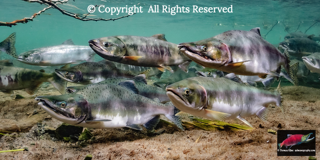Chum and Pink salmon spawning migration