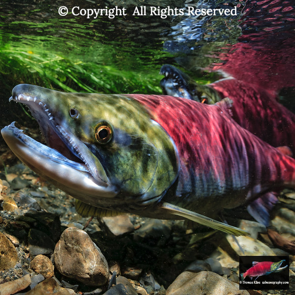 Sockeye Salmon female