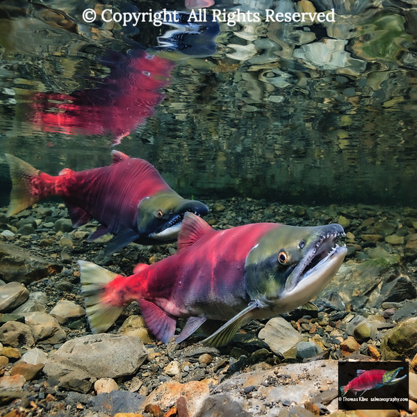 Sockeye Salmon spawning pair