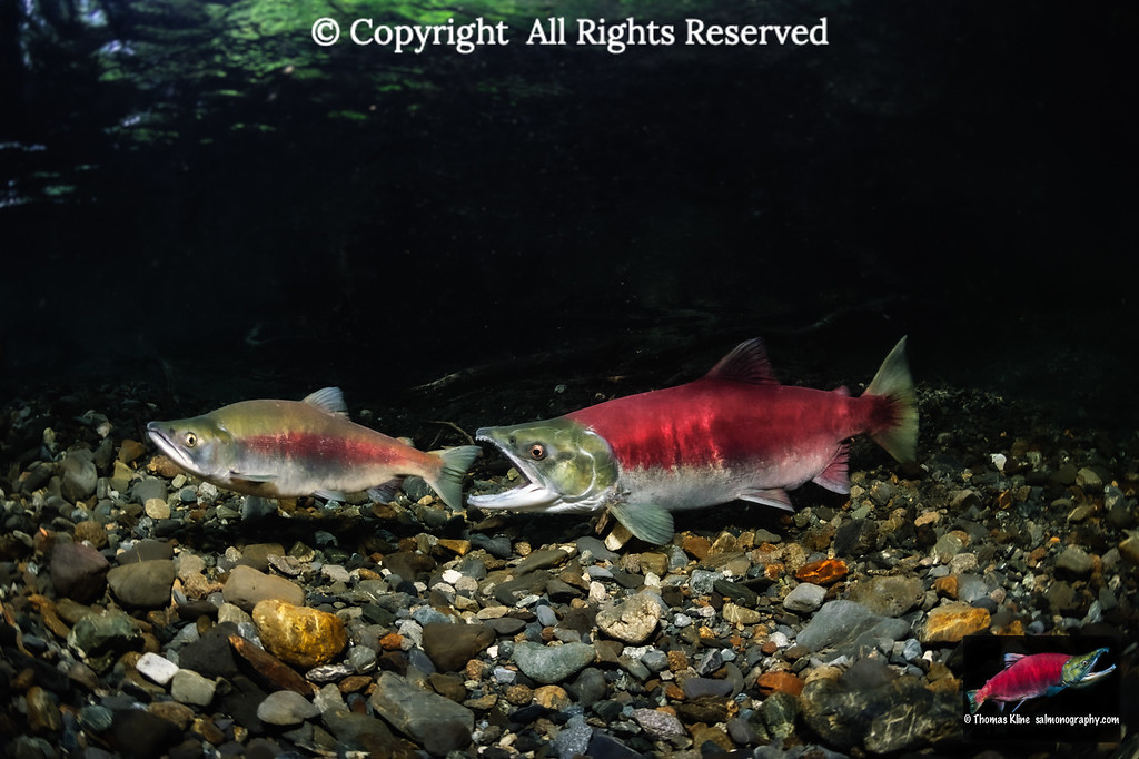 Sockeye Salmon female attacking a jack.