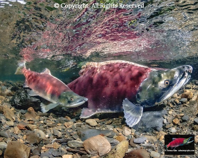 A jack sneaking alongside a normal sized male Sockeye Salmon