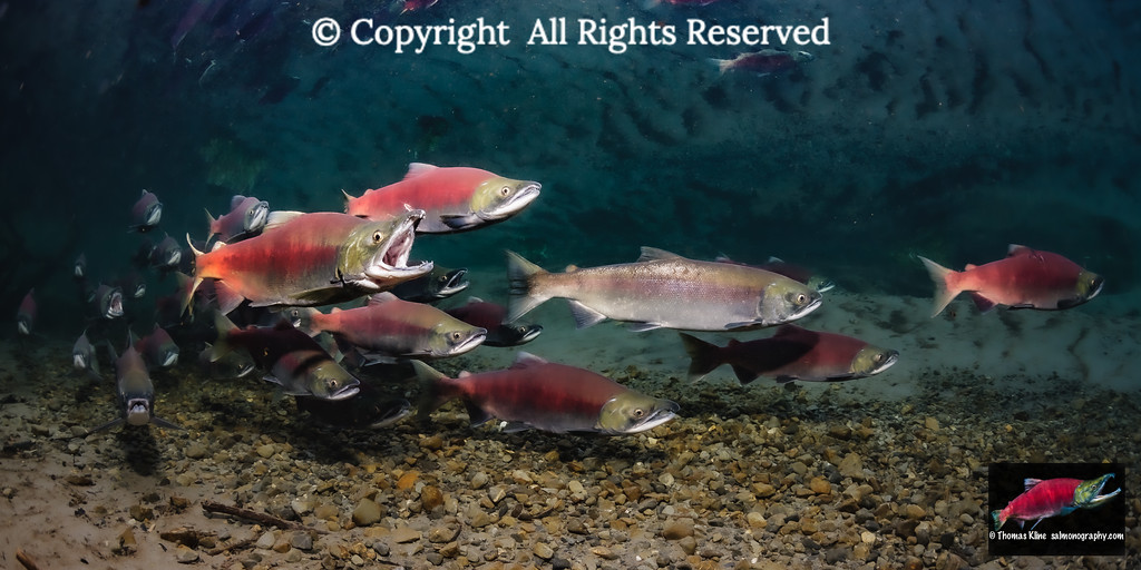 Sockeye Salmon spawning migration