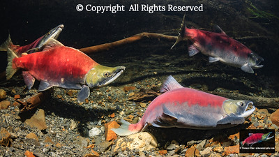 Male Sockeye salmon digging displacement activity