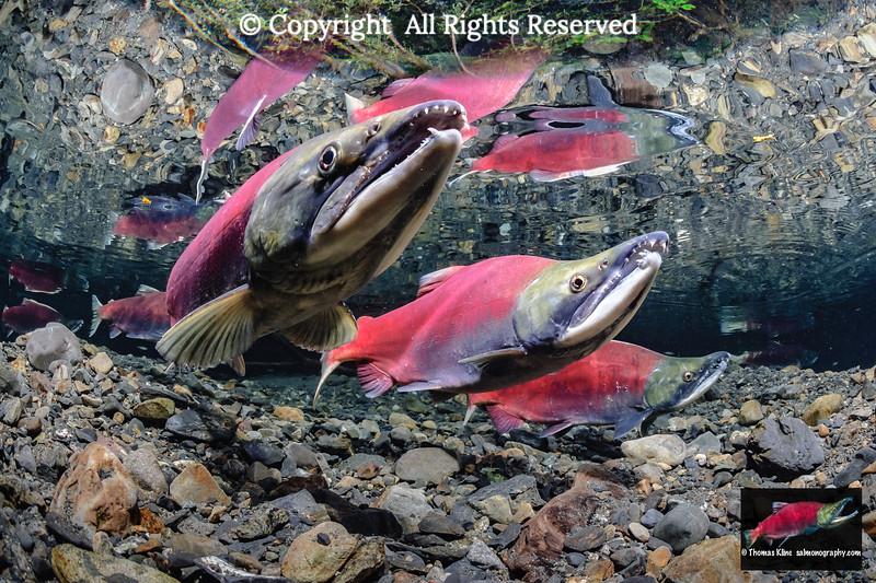 Sockeye Salmon (Oncorhynchus nerka) spawning pair