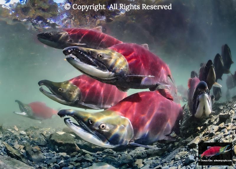 Schooled Sockeye Salmon approaching spawning