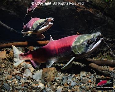 Sockeye Salmon spawning pair