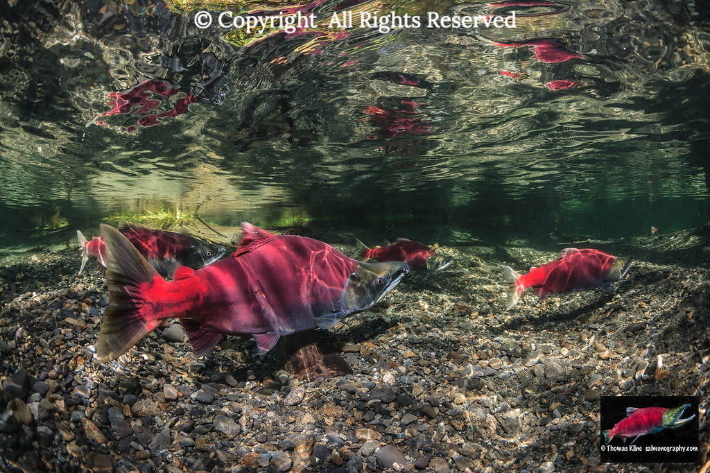 Sockeye Salmon on their spawning grounds