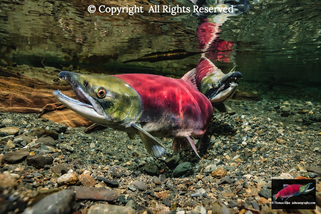Sockeye Salmon probing her redd as male stands by