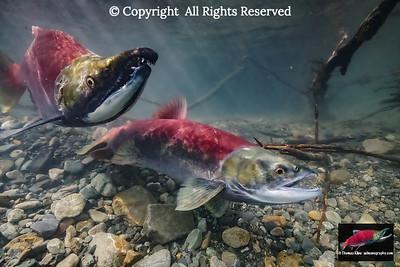 A female Sockeye Salmon digs her redd