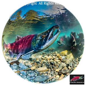 Fisheye lens underwater view of  Sockeye Salmon