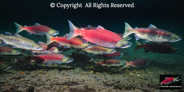 Sockeye Salmon spawning migration