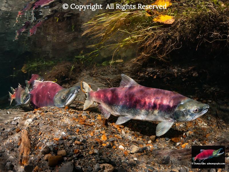 Sockeye Salmon spawners