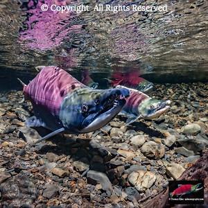 Male Sockeye Salmon holding position over redd
