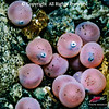 Developing Sockeye Salmon eggs
