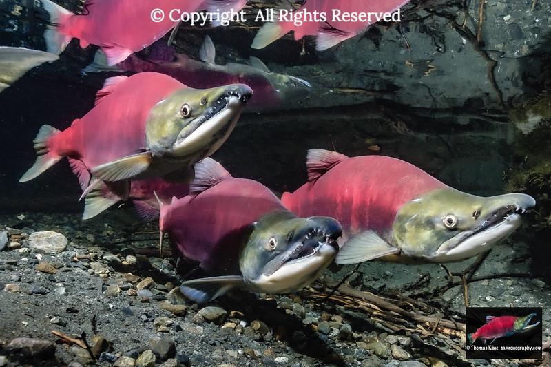 Three Sockeye Salmon males