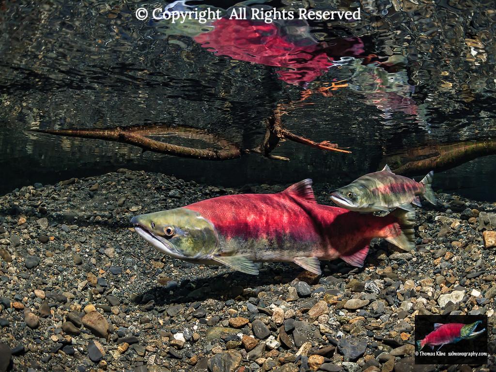 Sockeye Salmon jack courting