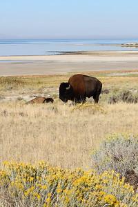 Antelope Island - Day Trip - Wildlife