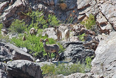 Desert bighorn sheep above Corkscrew Rapid