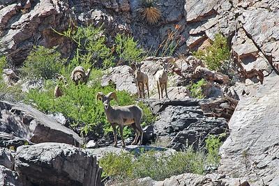 Desert bighorn sheep above Corkscrew Rapid