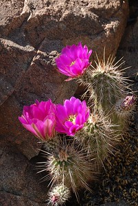 Hedgehog cactus near Black Rock Rapid