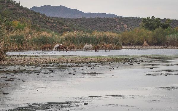Salt River Horses 11-26-16