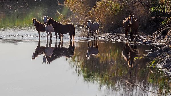 Salt River Wild Horses 2018