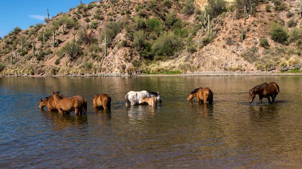 Salt River Wild Horses April 2016
