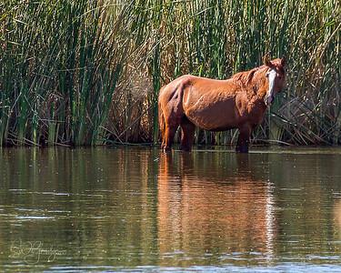 Salt River Wild Horses Oct 2017