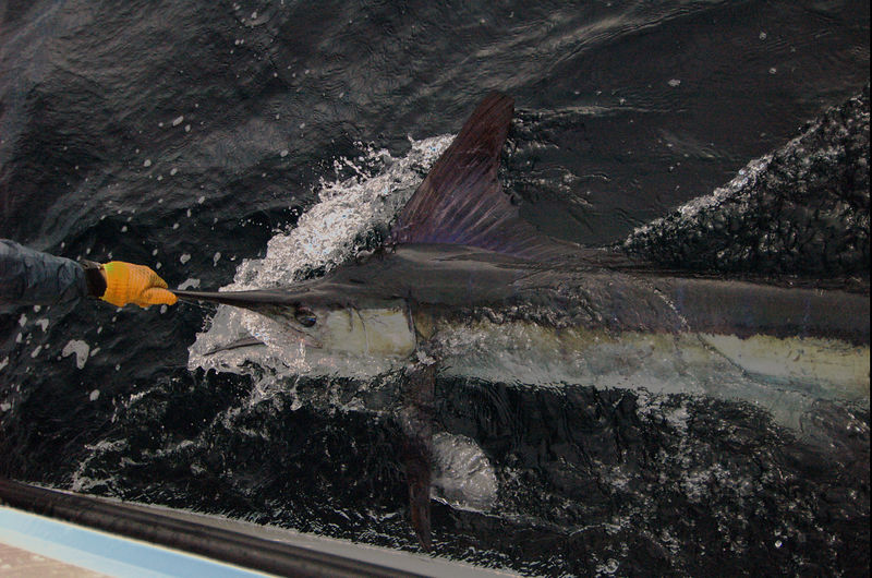 Release of Fly Caught Marlin Cabo San Lucas MexiMarlinco Blue Water Fly Fishing2005 0474