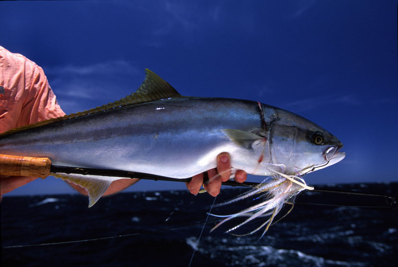 Amberjack, Cabo, Blue Water Fly Fishing
