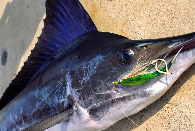 Striped Marlin with Fly, Long Range Fly Fishing, Mexico Blue Water Fly Fishing