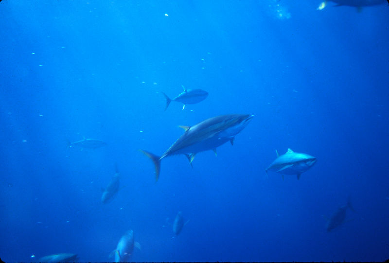 Yellow Fin Tuna Underwater, Long Range Fly Fishing, Mexico Blue Water Fly Fishing