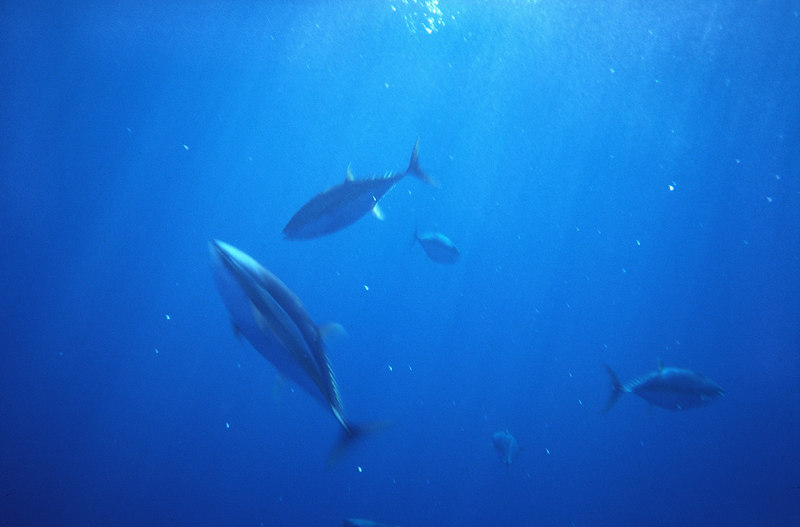 Yellowfin Tuna, Underwater, Long Range, Mexico, Blue Water Fly Fishing