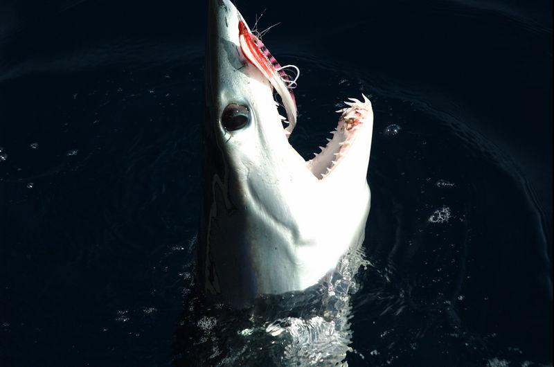 Mako Shark, Shark Fly, San Diego, CA., Blue Water Fly Fishing