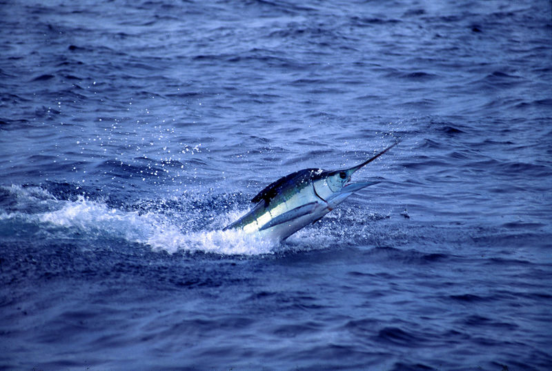 Leaping Marlin with Fly, Long Range Fly Fishing, Mexico Blue Water Fly Fishing
