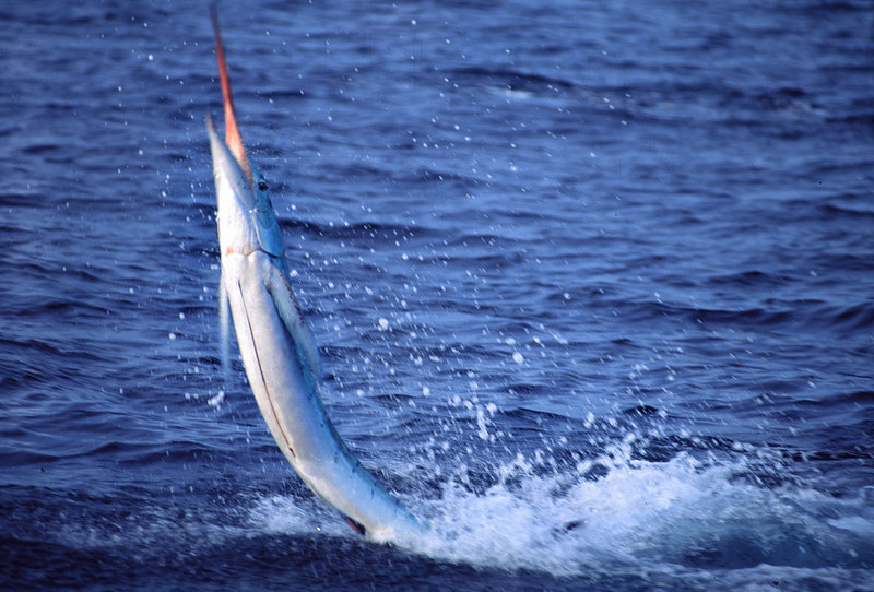 Leaping Marlin, Long Range Fly Fishing, Mexico Blue Water Fly Fishing