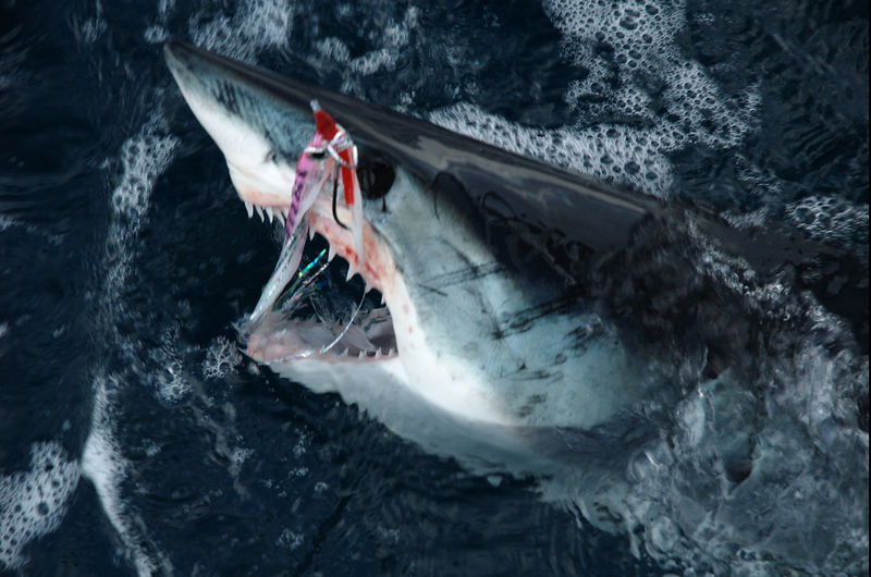 Mako Shark and Fly, San Diego CA, Blue Water Fly Fishing