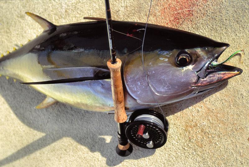 Yellowfin Tuna with Fly Rod, Long Range Fly Fishing, Blue Water Fly Fishing