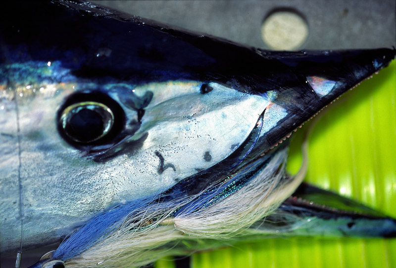 Wahoo and Fly, Long Range, Lyfishing, Mexico, Blue Water Fly Fishing