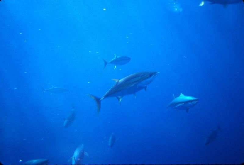 Yellow Fin Tuna Underwater, Long Range Fly Fishing, Mexico Blue Water Fly Fishing