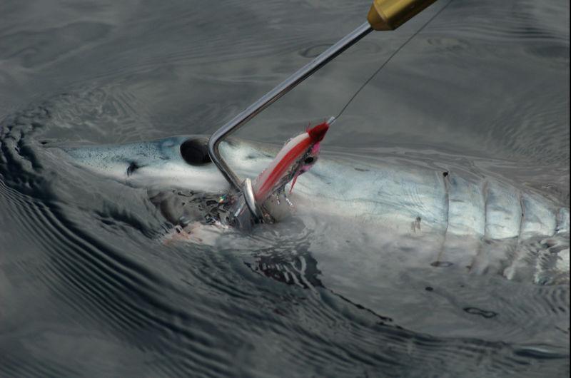 Mako Shark, San Diego, Blue Water Fly Fishing