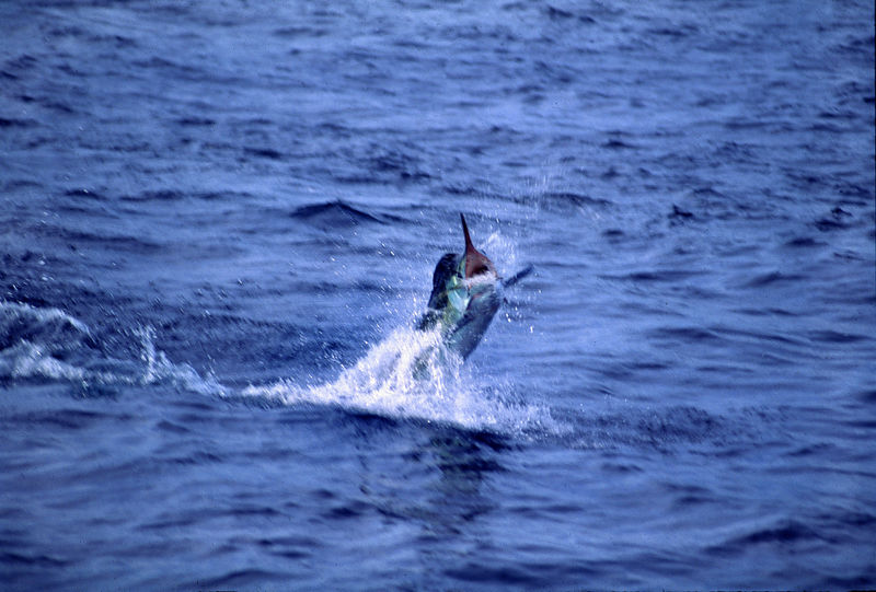 Leaping Marlin, Long Range Fly Fishing Mexico,Blue Water Fly Fishing